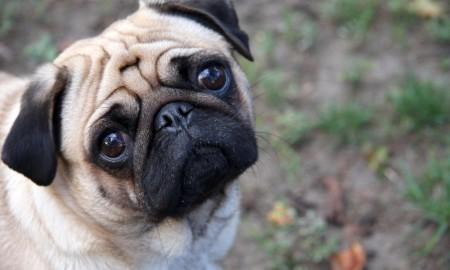 2016.01.14.Sad-pug