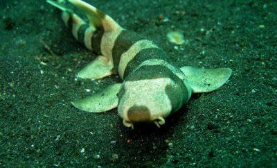bamboo-shark-e1425738323135.jpg
