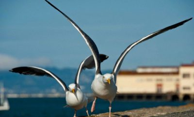 Western-Gull-San-Francisco-Focus-on-Trevor-950x6331-e1366440924577.jpg