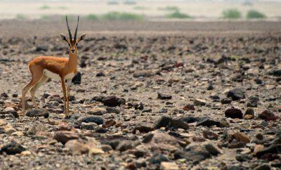 1-gazelle.jpg